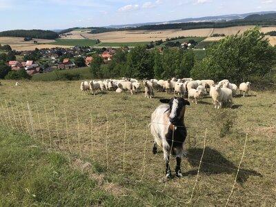 Elektronetz für Schafe und Ziegen