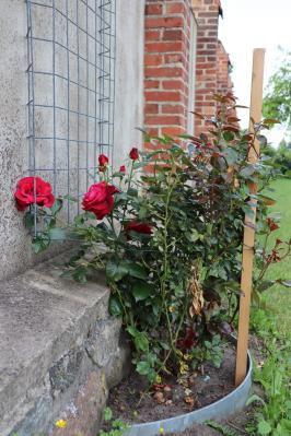 Fotoalbum Zum Tag der Rosen: Es blüht am Stadtmühlenwall