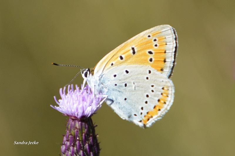 Foto der Galerie: Schmetterlinge