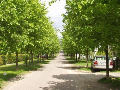neu bepflanzte Lindenallee