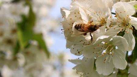 Die Honigbiene dritt wichtigtes Nutztier nach Rind und Schwein