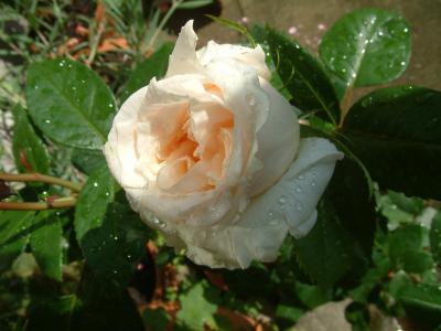 Lions-Rose (Foto: Hübner 2008)