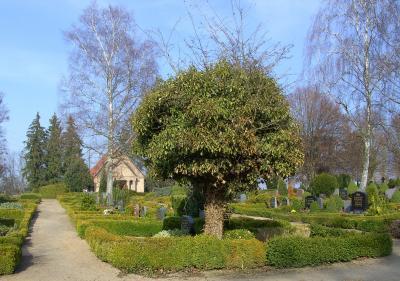 Unter diesem mit Efeu überwachsenen Rotdornbaum befindet sich auf dem Friedhof die Grabstätte der Diakonisse Agnes Elwert
