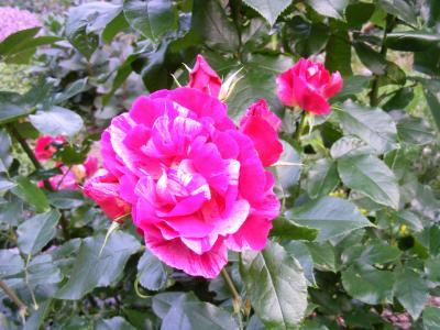 Foto zu Meldung: Für jedes Neugeborene steht weiterhin eine Rose