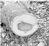 Foto zur Meldung: Ortsgemeinde: Birken in der Wiesenstraße werden durch Linden ersetzt