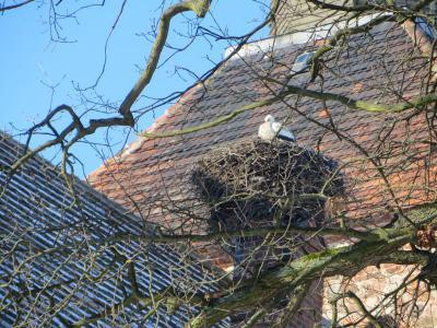 Foto zu Meldung: Freyensteiner Störche sind winterhart