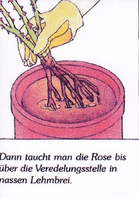 Foto zu Meldung: Pflanzen von wurzelnackten Rosen in sandigem Boden