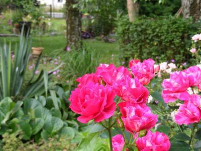 Foto zu Meldung: Rosenmüdigkeit hat in einem biologisch aktiven Boden geringere Auswirkungen