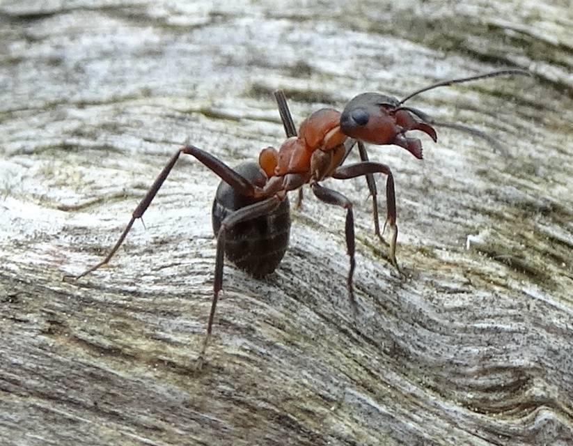 ameisen in der wiese bek mpfen ameisen im rasen ameisen auf der streuobstwiese erdh ufchen im. Black Bedroom Furniture Sets. Home Design Ideas