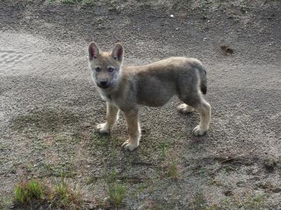 Foto zur Meldung: Rückkehr der Wölfe