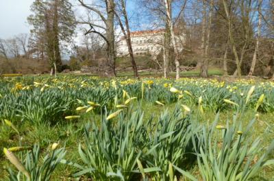 Foto zu Meldung: Narzissenblüte startet jetzt durch