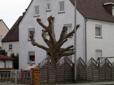 Foto zu Meldung: Rückschnitt von Platanen - Baumpflege oder Baumverstümmelung?