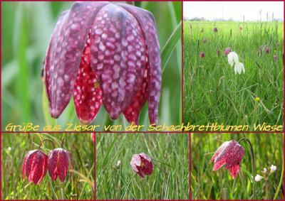 Foto zur Meldung: Gruß von der Schachbrettblumenwiese