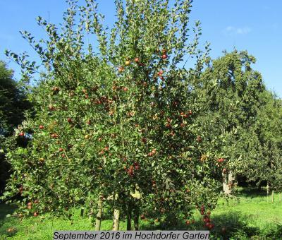 Foto zur Meldung: Äpfel im Hochdorfer Garten
