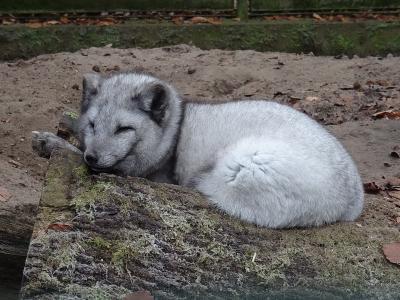Foto zu Meldung: Polarfüchse im Perleberger Tierpark