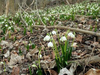 Frühlingsknotenblumen im Moorholz