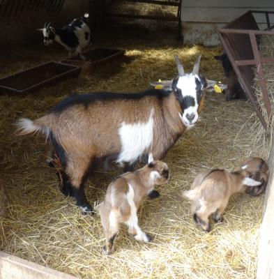 Foto zu Meldung: Nachwuchs bei den Zwergziegen im Perleberger Tierpark