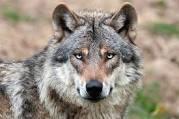 Vorschaubild zur Meldung: Einladung zum Thema: Entwicklung der Wolfspopulation in unserer Region