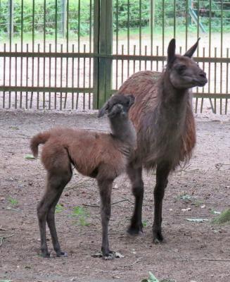 Foto zu Meldung: Guanako im Perleberger Tierpark geboren
