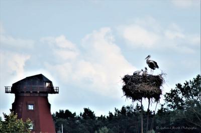 Foto zur Meldung: Storchen Nachwuchs
