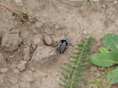 Spektakuläre Entdeckung: Die als stark gefährdet gelistete Trauerbiene wurde auf einer Wiese in Lettgenbrunn gesichtet.