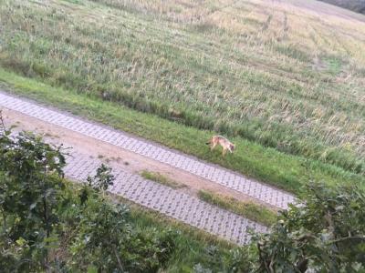 Vorschaubild zur Meldung: Wolf bei Egsdorf
