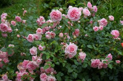 Die Rose bei der Laga stärker in den Fokus rücken will der Freundeskreis Wittstock. Bislang ist davon nichts zu erkennen.