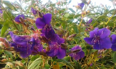 Vorschaubild zur Meldung: Veilchen im November: Tibouchina blüht in Brüsenhagen