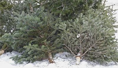 Vorschaubild zur Meldung: Am 13.1. Einsammeln der Weihnachtsbäume