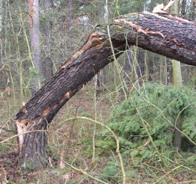 Geborsten, verbogen, verdreht: Bruchholz stellt ein Gefahrenpotential dar