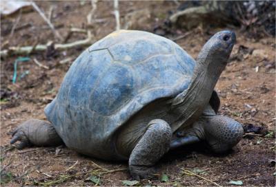 Aldabra Riesenschildkröte