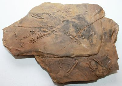 Die im heutigen Marokko gefundene Spur eines Gliederfüßers aus der Erdaltzeit.