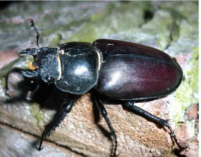 Weibchen (3 – 6 cm groß), (Foto Malchau)