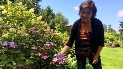 Vorschaubild zur Meldung: Im Hortensien-Garten