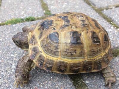 Vorschaubild zur Meldung: Schildkröte in 18311 Ribnitz gefunden!