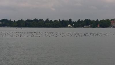 Kormoranschwarm in Schachener Bucht August 2018