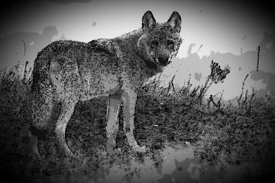 Foto zur Meldung: Neuer Nachbar Wolf – Bildervortrag am 26. Oktober in Plön