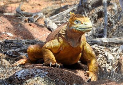 Drusenkopf von den Galapagos-Inseln, Ecuador Foto:K-D Feige