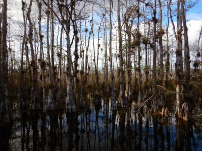 Sumpfzypressenwald in den Everglades von Florida