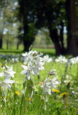 Foto zur Meldung: Der nickende Milchstern im Schlossgarten blüht