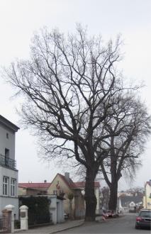 Vorschaubild zur Meldung: Historische Bäume in Fürstenwalde