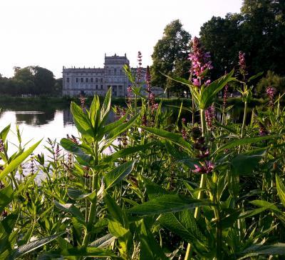 Sumpf-Ziest vor dem Schloss Ludwigslust, Foto Jueg