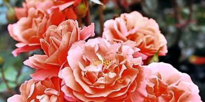 Foto zur Meldung: Freundschaftlich verbunden mit Rosen Tantau