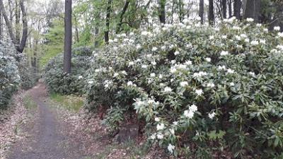 Auch im hinteren Waldpark haben die weißblühenenden rhododendren angefangen zu blühen