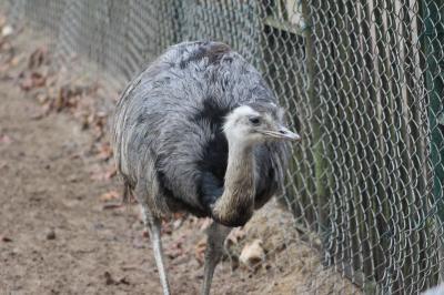 Ob der Nandu auch zu den invasiven Arten gehört, wird noch diskutiert. Foto: B. Presch