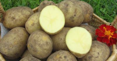 Vorschaubild zur Meldung: Bald ist es wieder soweit - ab dem 1. Juli 2019 sind die ersten Frühkartoffeln im Hofladen erhältlich.