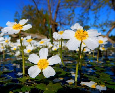 4.Blühender Schild-Wasserhahnenfuß (Ranunculus peltatus) Foto:  Uwe Jueg