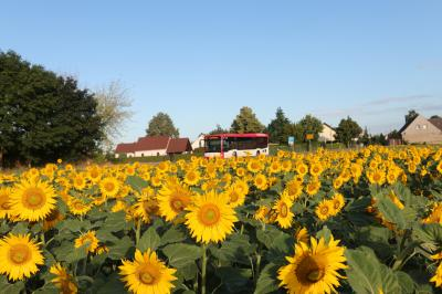 Sonnenblumenfeld vor Kunersdorf