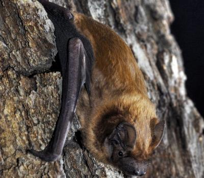 Foto zur Meldung: Besuch bei den Jägern der Nacht – Fledermaussafari mit dem Naturpark am 27. Juli in Plön