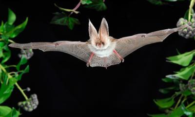 Foto zur Meldung: Jäger der Nacht – Fledermäuse im Naturpark am 9. August